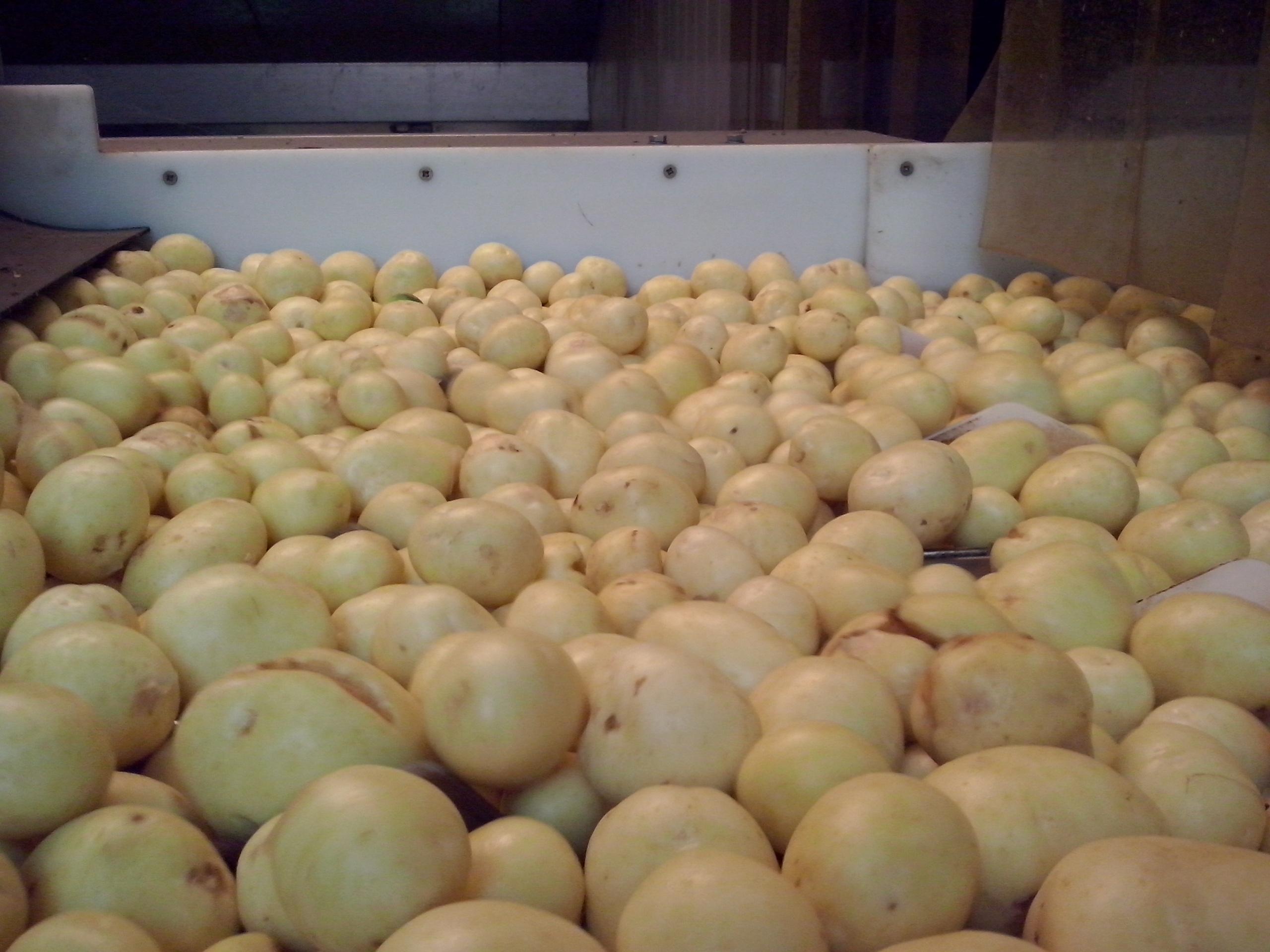 De første nye Marienlyst øko kartofler er klar